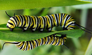 monarch butterfly eggs larvae caterpillars pupae chrysalises