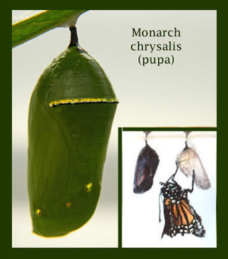 Monarch pupae, chrysalis