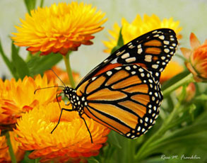 monarch life cycle metamorphosis stages of development