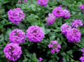 Verbena canadensis 'Homestead Purple, butterfly attracting plant